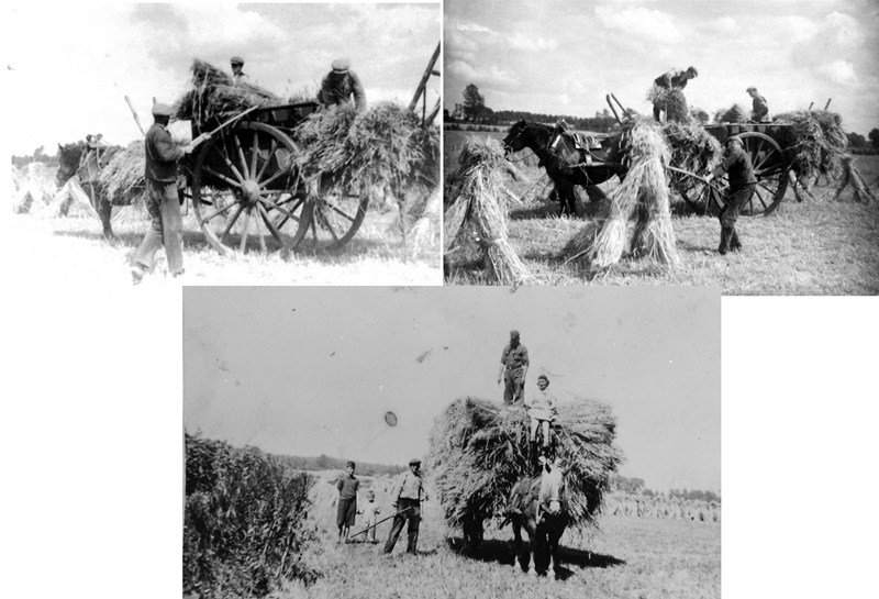 ca1950 Het laden van korenschoven op Haanwijk